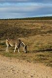 A zebra grazing Stock Image