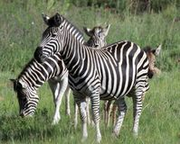 Zebra Grazing in South Africa stock photos
