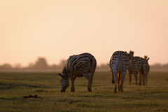 Zebra Grazing at Sunset Stock Photos