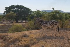 Zebra grazing with vegetation. In Africa. Wild Royalty Free Stock Images