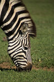 Zebra Grazing Stock Photo
