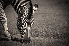 Zebra Grazing Stock Image