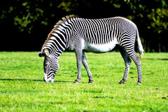 Zebra grazing in the wild royalty free stock photo