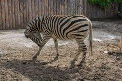 Zebra graziosa Fotografie Stock Libere da Diritti