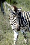 Zebra grazing stock photos
