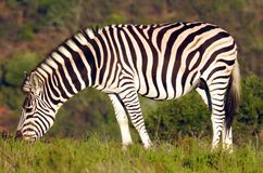 Zebra. Grazzing on the plaines of Africa Royalty Free Stock Image