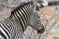 Zebra in Greater Kruger National Park, South Africa Stock Photo
