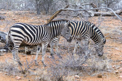 Zebra in Greater Kruger National Park, South Africa Royalty Free Stock Images