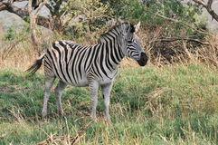 Zebra. On green field at South Africa Stock Image
