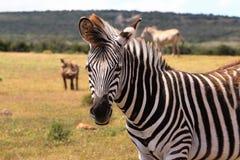 Zebra on Green Grass Field Royalty Free Stock Image