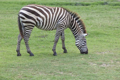 Zebra on green grass field Royalty Free Stock Photos