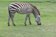 Zebra on green grass field Stock Photography