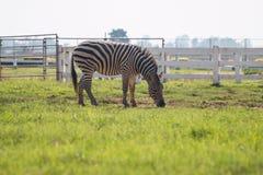 Zebra on green grass field Stock Images