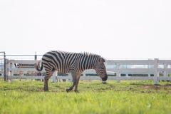 Zebra on green grass field Stock Photos