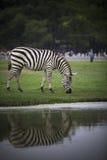 Zebra on green grass field full body Royalty Free Stock Photography