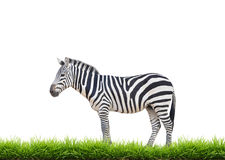 Zebra with green grass isolated Stock Photos