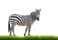 Zebra with green grass isolated Royalty Free Stock Images