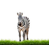 Zebra with green grass isolated Stock Photography