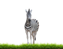 Zebra with green grass isolated Royalty Free Stock Photo