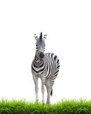 Zebra with green grass isolated Royalty Free Stock Photography