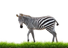 Zebra with green grass isolated Royalty Free Stock Photos