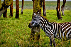 Zebra in Green Grass. Zebra standing in green grass in woods Royalty Free Stock Photography