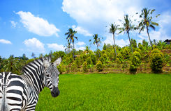 Zebra on a green grass and a tropical landscape Stock Image