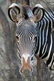 zebra grevy Obraz Royalty Free