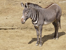 Zebra of Grevy Royalty Free Stock Photos