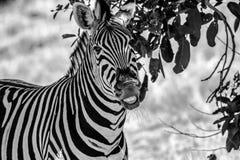 Zebra Grining Imagens de Stock Royalty Free
