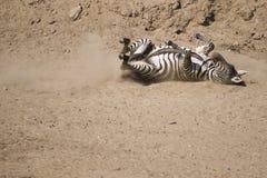 Zebra on the ground Stock Photo