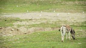 Zebra. Group of zebra in a eating grass field stock video