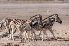 Zebra group Etosha. Group of adult and young Plains Zebra (Equus quagga) Walking together, Etosha National Park, Namibia stock image