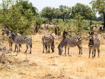 Zebra group Royalty Free Stock Photography