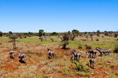 Zebra. A group of zebras in the savanna Stock Images