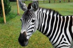 Zebra in the Grutas park near Druskininkai town Stock Photography