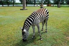 Zebra in the Grutas park near Druskininkai town Stock Photos