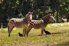Zebra and Hadeda Royalty Free Stock Photo