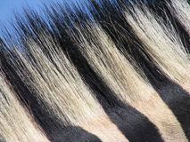 Zebra hair. Black and white zebra skin fur texture Stock Photo