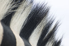 Zebra hair. A closeup shot of zebra hair an a white background Royalty Free Stock Image