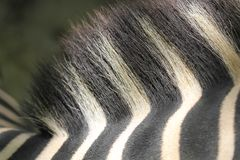 Zebra hair and back closeup shot Royalty Free Stock Image