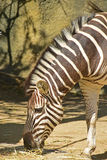 Zebra half body grazing the scattered dry grass on the ground stock image