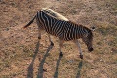 Zebra. Happy holiday travel natural zoo see animal life Royalty Free Stock Photos