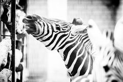 Zebra happy smiling Stock Photo