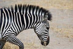 Zebra (Hauptsonderkommando) laufend mit trockenem Gras im Mund Stockfotografie