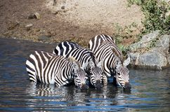 Zebra having a drink royalty free stock photo