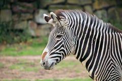 Zebra Head Stock Images