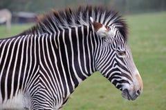 Zebra head. Close up of zebra head at Whipsnade zoo Stock Image