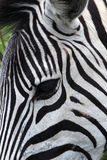 Zebra head. Close-up of a zebra head with the focus on its eye stock images