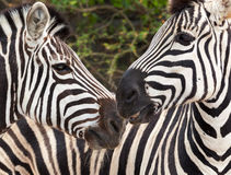 Zebra head Royalty Free Stock Image